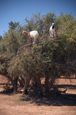 Argan trees are native to Mediterranean-climate North Africa. Goats climb the trees to eat the fruit. Argan oil is prized for culinary and cosmetic uses. People traditionally collected the undigested pits,  grounding and pressing them to produce the oil.